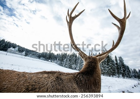 Spin deer, winter, Carpathian Mountains, wildlife - stock photo