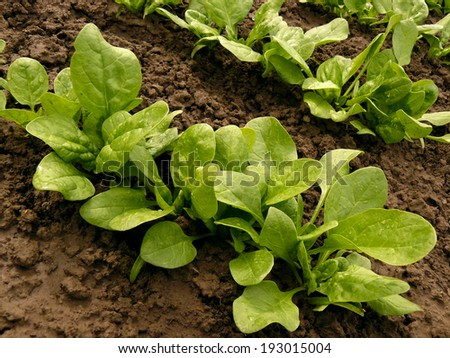 spinach bed after watering - stock photo
