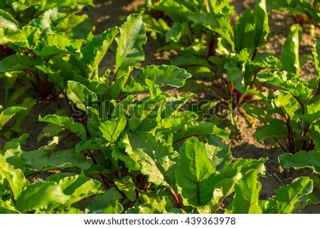 Spinach growing in garden. Fresh natural leaves of spinach growing in summer garden - stock photo