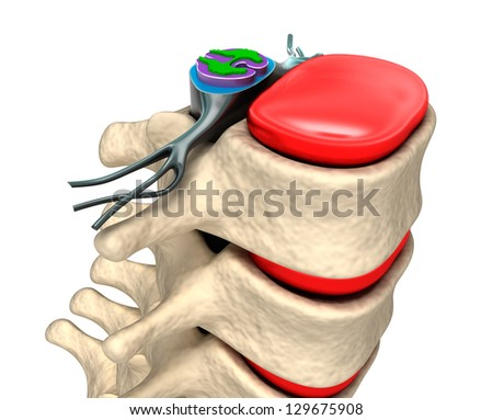 Spinal column with nerves and discs. - stock photo