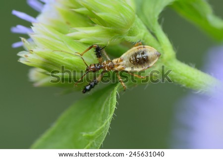 Spined Assassin Bug Nymph - stock photo