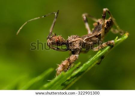 Spined assassin bug on green leaf with green background - stock photo