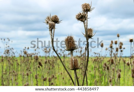 Spines in the field. Thorny plants in a meadow.