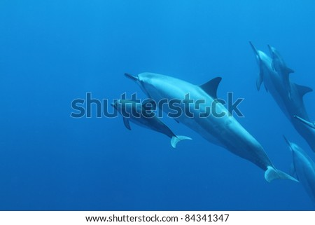 Spinner Dolphin.... mother and child. - stock photo