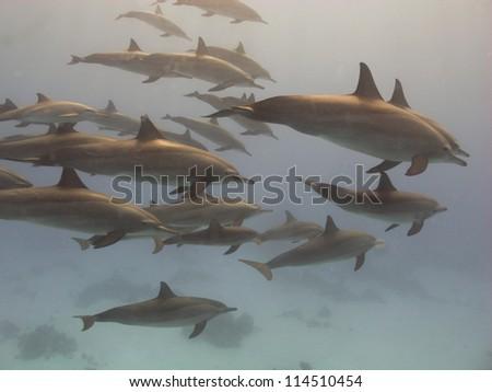 Spinner dolphin (Stenella longirostris) - stock photo