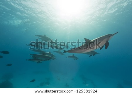 Spinner dolphin (stenella longrostris) pod in th Red Sea.