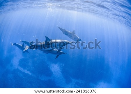 Spinner dolphins swimming underwater in the Pacific Ocean - stock photo