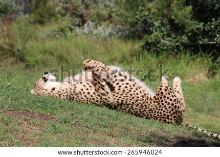 Spinning Cheetah (Acinonyx jubatus) in South Africa - stock photo