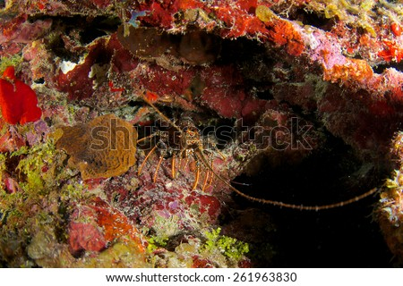 Spiny Caribbean Lobster hides in his hole, Grand Cayman - stock photo