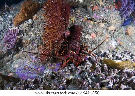 Spiny Lobster - stock photo