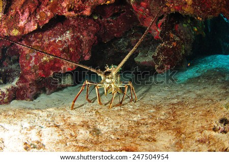 Spiny Lobster, Grand Cayman - stock photo
