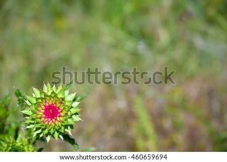 Spiny Prickly Musk Thistle Flower Plant with Shallow Focus - stock photo