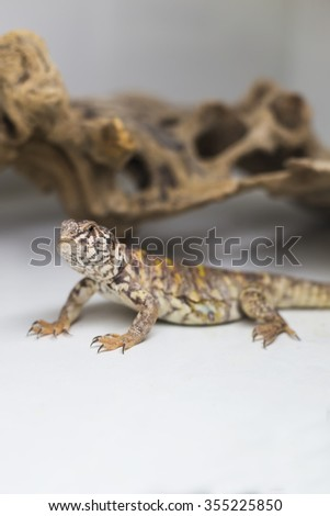 Spiny tail lizard