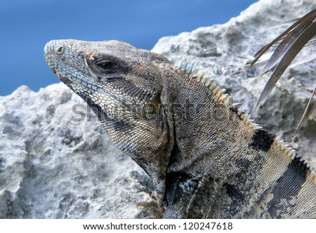 Spiny Tailed Iguana closeup in Mexico