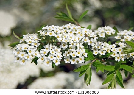 Spiraea alpine spring flower white flowering stock photo royalty spiraea alpine spring flower white flowering shrub mightylinksfo