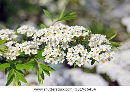 ¿Cuándo debo podar mis arbustos florecientes de primavera? | Granjero del patio trasero | Universidad de Nebraska & ndash; Lincoln
