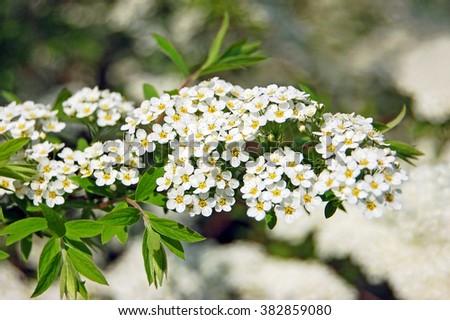 Plantando Arbustos Florecientes: Viburnum Chino Elegante De La Bola De Nieve - Southern Living
