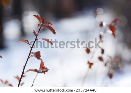 Spiraea japonica (Japanese spiraea) leaves with droplets - stock photo