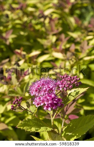 Spiraea or meadowsweet flowers in pink with green shrub - stock photo