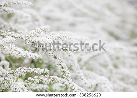 Spiraea thunbergii (also known as, baby's breath spirea, Yukiyanagi, Thunberg spirea, )in full bloom. Shallow depthe of field. A blooming shrub. - stock photo