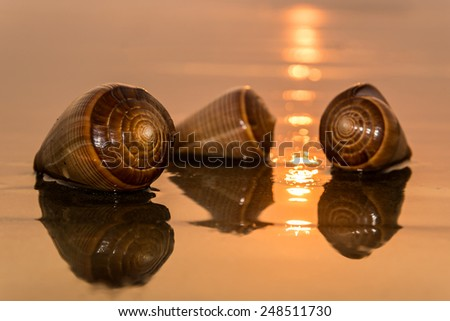 Spiral conch shells on a beach during sunset - stock photo