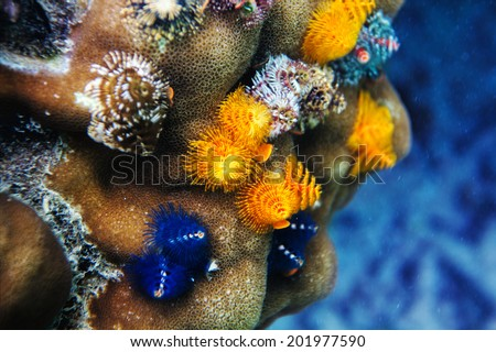 Spiral-gilled tube Worms (Spirobranchus giganteus), commonly called Christmas Tree Worms, found on dead coral - stock photo