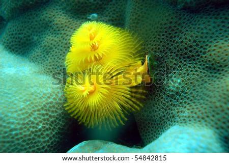spirobranchus - stock photo