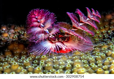 Spirobranchus giganteus, Christmas tree worms extended on Caribbean coral reef - stock photo