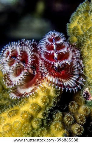 Spirobranchus giganteus, commonly known as Christmas tree worms, are tube-building polychaete worms belonging to the family Serpulidae - stock photo