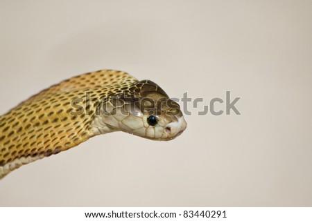 Spitting Cobra - stock photo