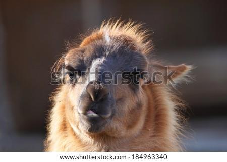 spitting llama ( lama glama ) head, portrait over out of focus background - stock photo