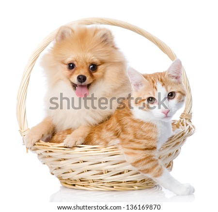 spitz dog embraces a cat in basket. looking at camera. isolated on white background - stock photo