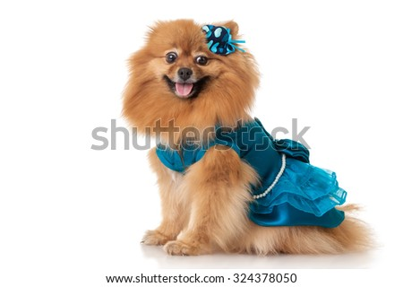 Spitz dog in clothes - stock photo