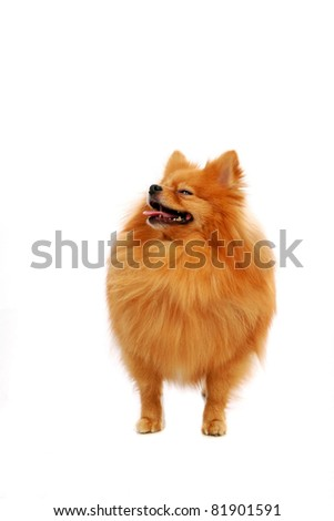 Spitz-dog playing in studio. Isolated on white - stock photo