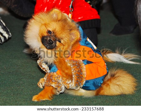 Spitz dog scratching itself - stock photo