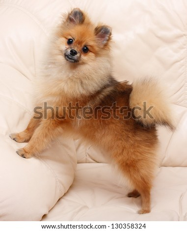 Spitz dog standing on a leather sofa. - stock photo