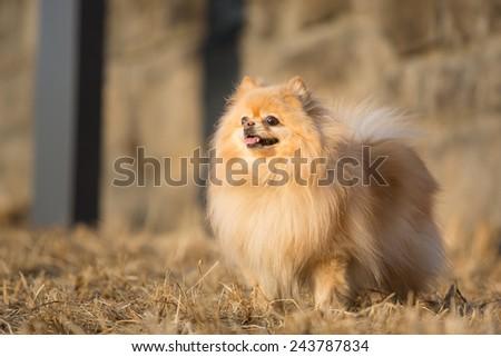 spitz, Pomeranian dog in city park - stock photo