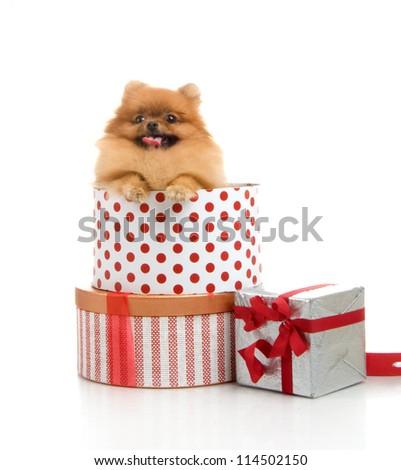 spitz, Pomeranian dog in gift-box, studio shot on white background - stock photo