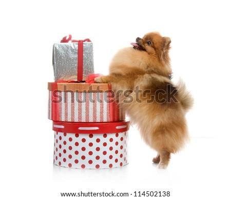 spitz, Pomeranian dog with gift boxes on white background, studio shot - stock photo