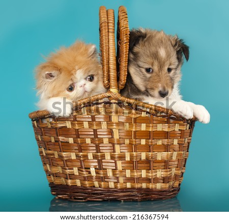 Spitz puppy and Persian kitten, Cat and dog - stock photo