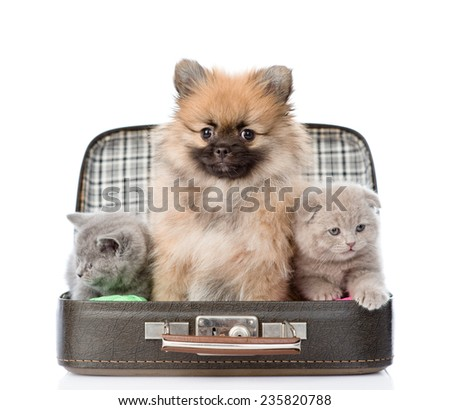 spitz puppy and two scottish sitting in a bag. isolated on white background - stock photo
