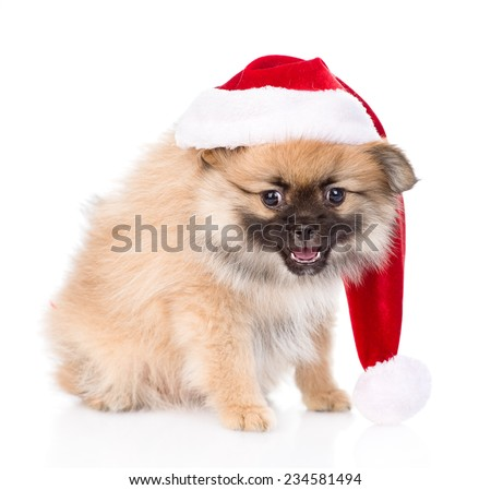 spitz puppy dog with red christmas Santa hat. isolated on white background