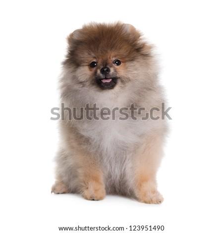 Spitz puppy, 3 months old, sitting  against white background - stock photo