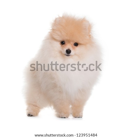 Spitz puppy, 3 months old, staying against white background