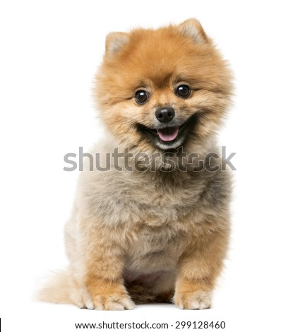 Spitz puppy sitting in front of a white background - stock photo