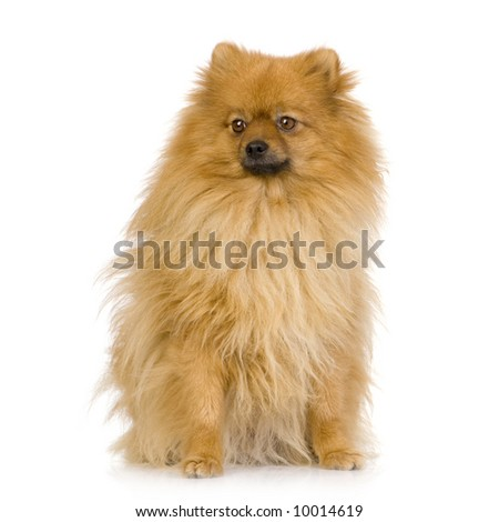 Spitz (3 years) in front of white background