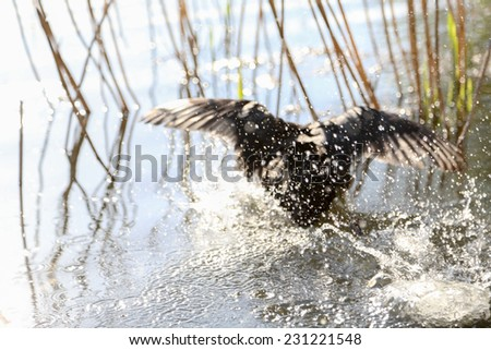 Splash left by a duck attempting to land on the surface of a lake shot with shallow depth of focus - stock photo