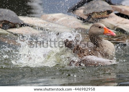 Splashing grey lag goose