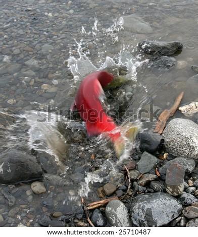 Splashing Red Salmon Moves Up Stream - stock photo