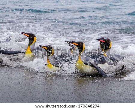 Splashing, swimming, landing King Penguins - stock photo